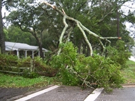 Winds topple older trees