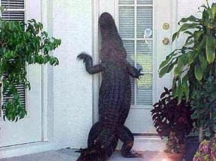 nuisance-alligator