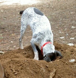 Dog Digging Out of Backyard