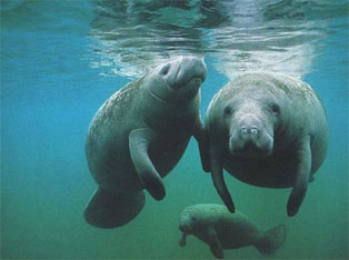 Manatees Migrate in Spring and Fall
