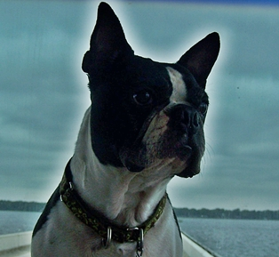Snoopy the Boston Terrier
