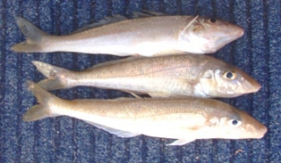Image gallery whiting fish for Smoked fish near me
