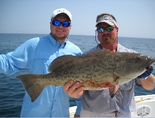 Grey Grouper