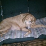 Missing Golden Retriever Named Ruby