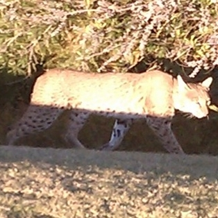 Florida Bobcat Spotted on Amelia Island