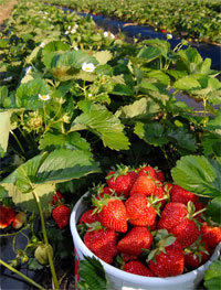 Spring means strawberries - Plant strawberries spring ...