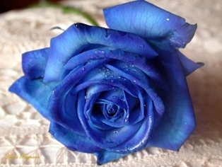 The Blue Rose Reminds of What is Important