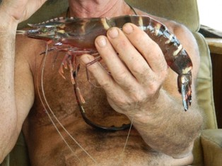Giant Tiger Shrimp Caught by Fernandina Shrimp Boats