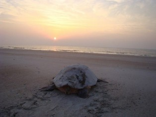 Turtles on Amelia Island