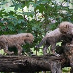 WOCC Welcomes Pair of Cheetah Cubs