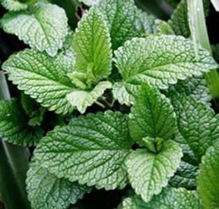 Making Mosquito Repellent with Mint Leaves