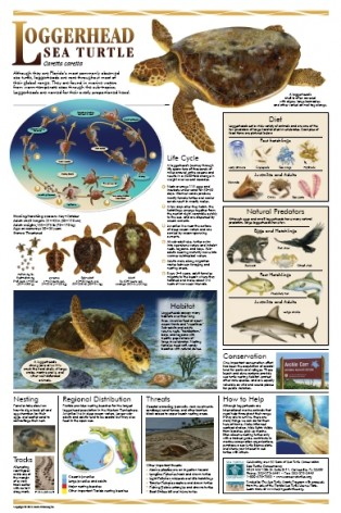 Amelia Oceanfront BB welcomes sea turtles