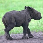 Indian Rhino Calf Born at White Oak Conservation Center