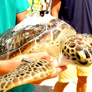 Wild Amelia Nature Festival 2013 Begins with Turtle Release