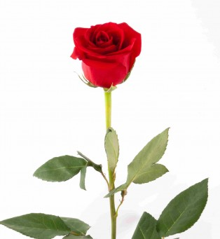 A single Red rose personifies careful financial planning for singles