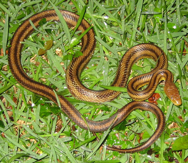 Florida's Snake Population, Venomous And Otherwise