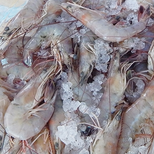 Fresh, Local Shrimp Now Available at Farmers Market