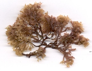 Benefits of Nutrient Rich Seaweed Called Irish Moss
