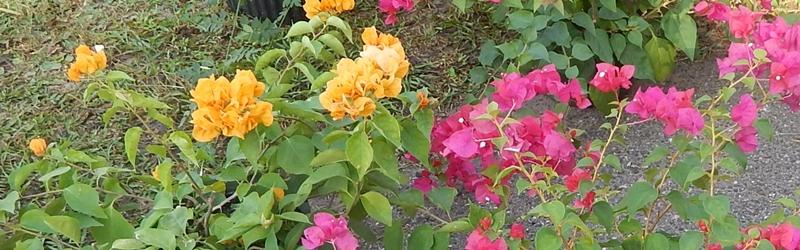 flowering-fernandina