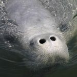 Look Out for Manatees When Boating