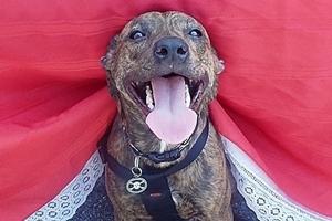 dog with large tongue