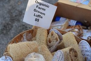 Loofah Grown in Fernandina Beach