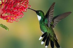 humming-bird